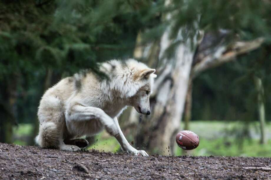 A Woodland Park Zoo gray wolf reacts as a football bursts after he bit into the pigskin in the wolf exhibit. The zoo got into the Seahawks spirit as animals played with footballs and waved the 12th Man flag. Photographed on Thursday, January 16, 2014. Photo: JOSHUA TRUJILLO, SEATTLEPI.COM / SEATTLEPI.COM