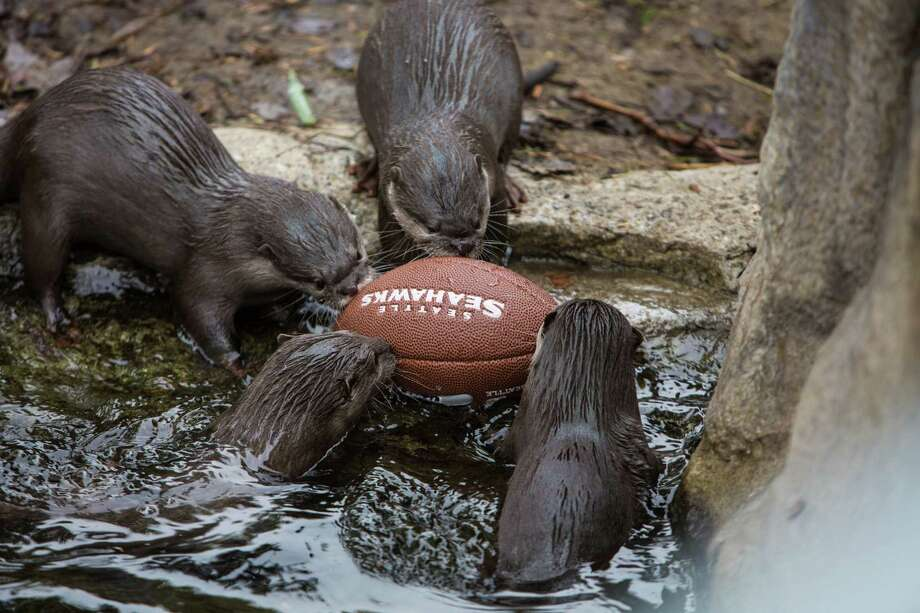 Small-clawed otters huddle around a football in their exhibit at Woodland Park Zoo as the zoo gets into the Seahawks spirit. Photographed on Thursday, January 16, 2014. Photo: JOSHUA TRUJILLO, SEATTLEPI.COM / SEATTLEPI.COM