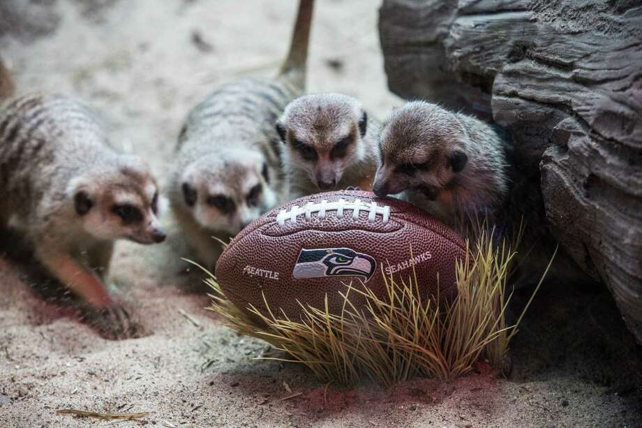 Meerkats form a defensive line as they examine a football in their exhibit as the Woodland Park Zoo got into the Seahawks spirit. Animals played with footballs and waved the 12th Man flag. Photographed on Thursday, January 16, 2014. Photo: JOSHUA TRUJILLO, SEATTLEPI.COM / SEATTLEPI.COM