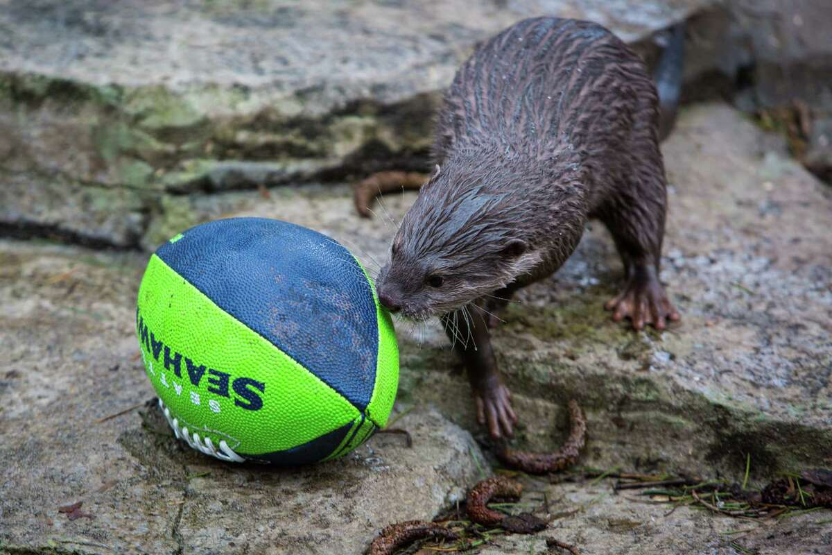 A small-clawed otter gains yardage as he moves a football in its exhibit at Woodland Park Zoo as the zoo gets into the Seahawks spirit. Photographed on Thursday, January 16, 2014.