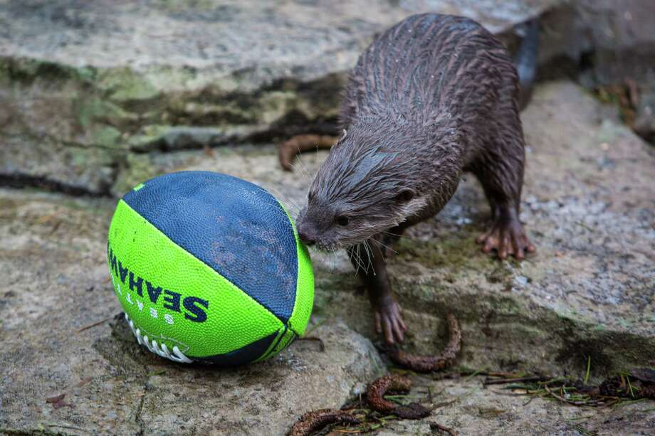 A small-clawed otter gains yardage as he moves a football in its exhibit at Woodland Park Zoo as the zoo gets into the Seahawks spirit. Photographed on Thursday, January 16, 2014. Photo: JOSHUA TRUJILLO, SEATTLEPI.COM / SEATTLEPI.COM