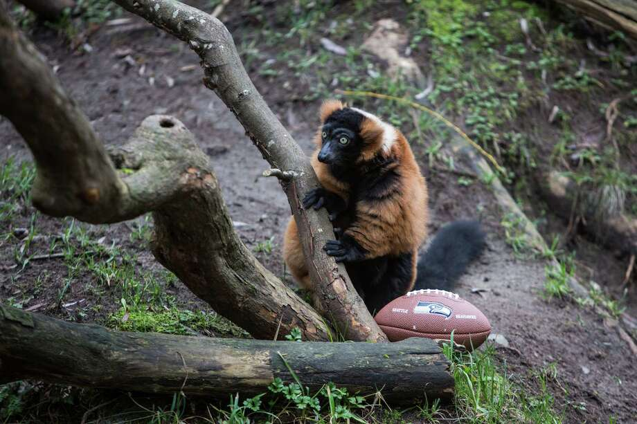 A lemur guards a banana-smeared football in the lemur exhibit at Woodland Park Zoo as the zoo gets into the Seahawks spirit. Photographed on Thursday, January 16, 2014. Photo: JOSHUA TRUJILLO, SEATTLEPI.COM / SEATTLEPI.COM