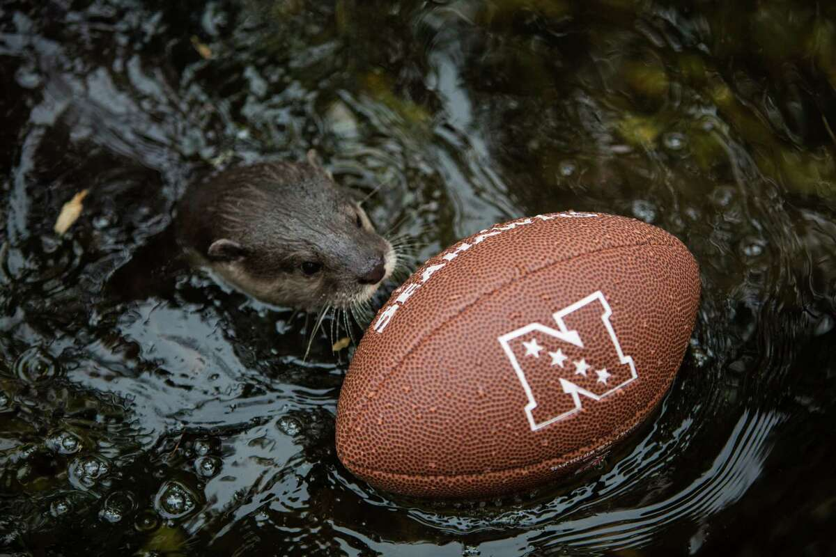 A small-clawed otter carries a football across a pool in its exhibit at Woodland Park Zoo as the zoo gets into the Seahawks spirit. Photographed on Thursday, January 16, 2014.