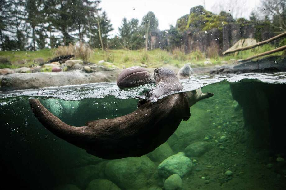 River otters wrestle for a loose football in their exhibit at Woodland Park Zoo as the zoo gets into the Seahawks spirit. Photographed on Thursday, January 16, 2014. Photo: JOSHUA TRUJILLO, SEATTLEPI.COM / SEATTLEPI.COM