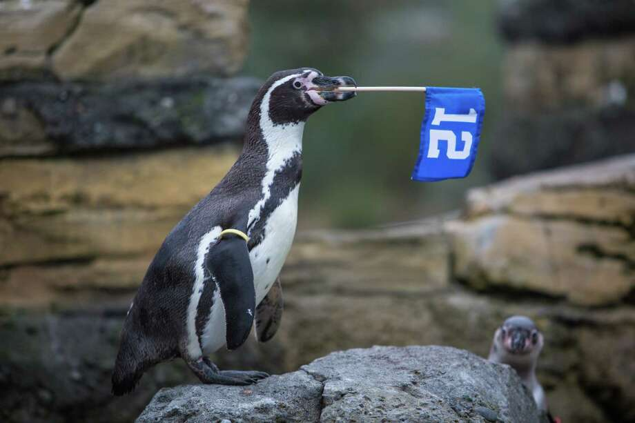 Cortez, a Humboldt penguin at Woodland Park Zoo, waves the 12th Man flag in his exhibit as the zoo gets into the Seahawks spirit. Photographed on Thursday, January 16, 2014. Photo: JOSHUA TRUJILLO, SEATTLEPI.COM / SEATTLEPI.COM
