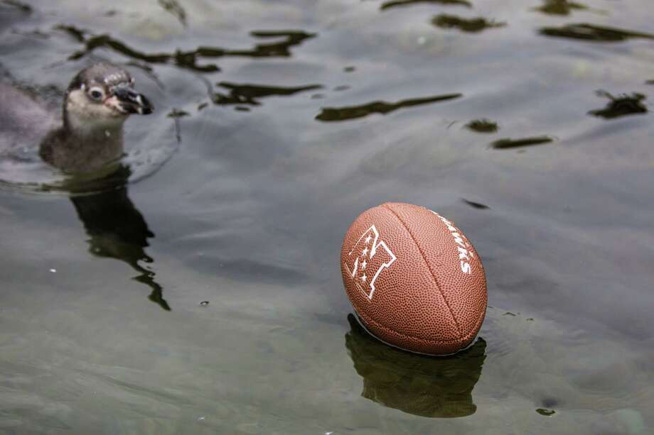 A Humboldt penguin chases a loose football in the penguin enclosure at Woodland Park Zoo as the zoo gets into the Seahawks spirit. Photographed on Thursday, January 16, 2014. Photo: JOSHUA TRUJILLO, SEATTLEPI.COM / SEATTLEPI.COM