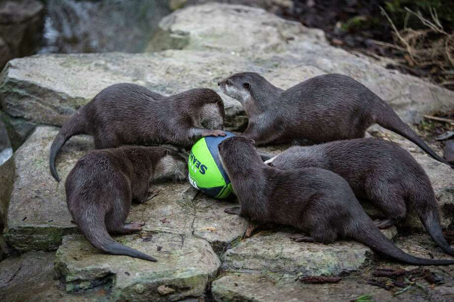 Small-clawed otters moves a football in their exhibit at Woodland Park Zoo as the zoo gets into the Seahawks spirit. Photographed on Thursday, January 16, 2014. Photo: JOSHUA TRUJILLO, SEATTLEPI.COM / SEATTLEPI.COM