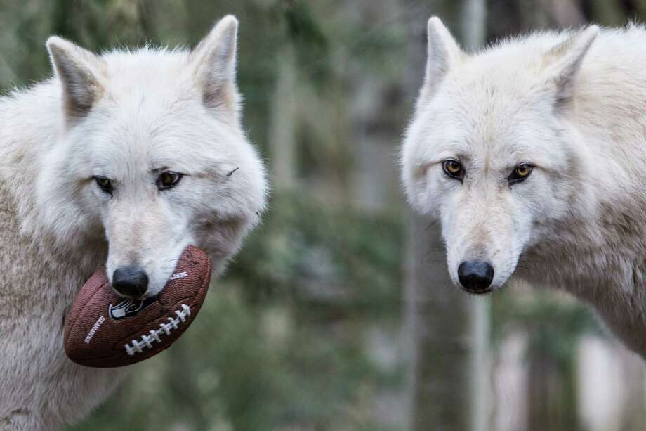 Woodland Park Zoo gray wolves carry a football in the wolf exhibit. The zoo got into the Seahawks spirit as animals played with footballs and waved the 12th Man flag. Photographed on Thursday, January 16, 2014. Photo: JOSHUA TRUJILLO, SEATTLEPI.COM / SEATTLEPI.COM
