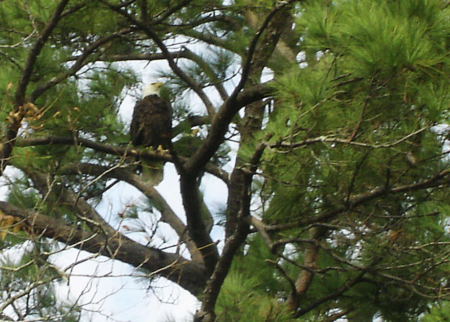 Shown is one of a pair of bald eagles that have been building a nest in Paul and Elsie White's backyard since before Christmas. The retired couple marvel at their new neighbors and hope they'll stick around. Photo: Paul White, Photo Provided