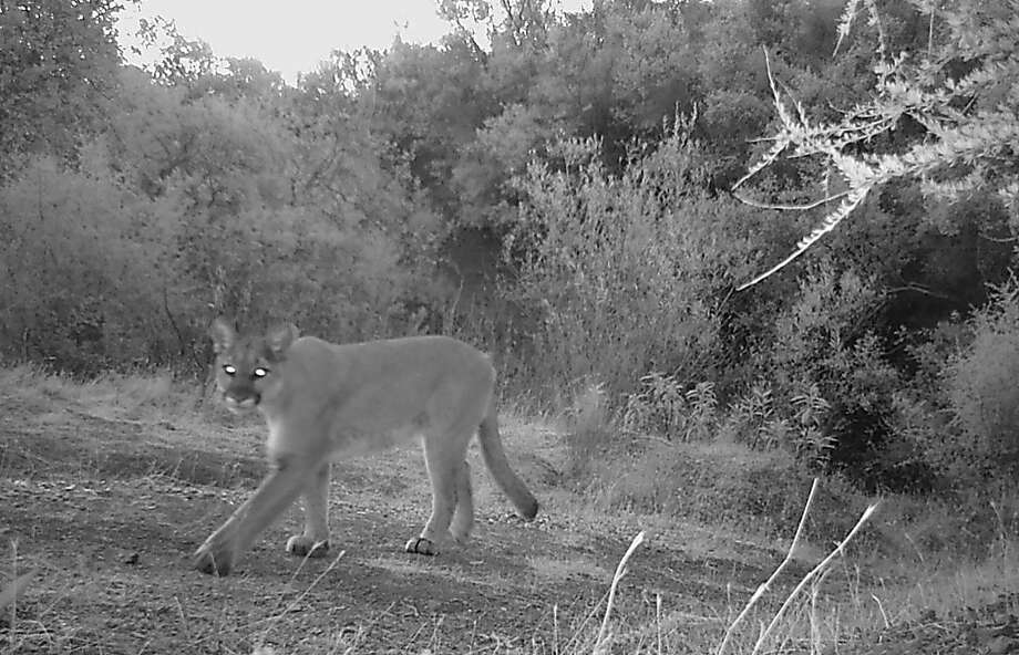Paul Ackerman of Vacaville used a wildlife cam to photograph this bright-eyed mountain lion. Photo: Paul Ackerman