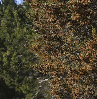 Cedar And Allergy Symptoms Hit Highest Levels Of The