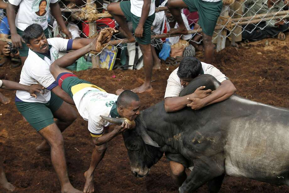 Participants try to hold on to a bull during a bull-taming sport, called Jallikattu, in Alanganallor, about 424 kilometers (264 miles) south of Chennai, India, Thursday, Jan. 16, 2014. Jallikattu is an ancient heroic sporting event of the Tamils played during the harvest festival of Pongal. (AP Photo/Arun Sankar K.) Photo: Arun Sankar K, Associated Press