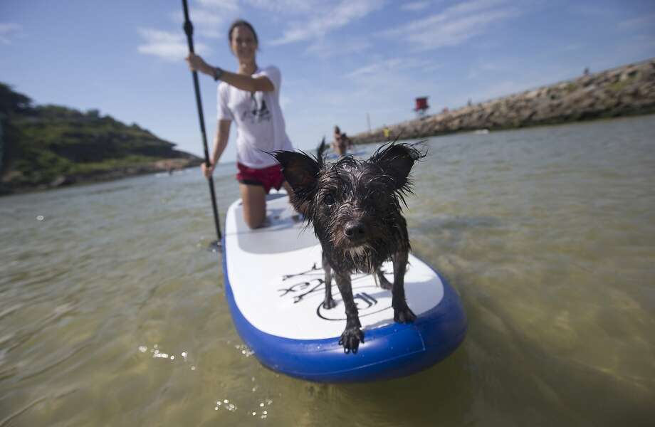 A dog named Jack stands at the front of a paddle board as his owner trains off Barra de Tijuca beach in Rio de Janeiro, Brazil, Thursday, Jan. 16, 2014. Jack is being trained by his owner to accompany her as she stand-up paddle surfs, along with other paddle surfing dog owners preparing for an upcoming competition of paddle surfers who compete with their dogs. (AP Photo/Silvia Izquierdo) Photo: Silvia Izquierdo, Associated Press