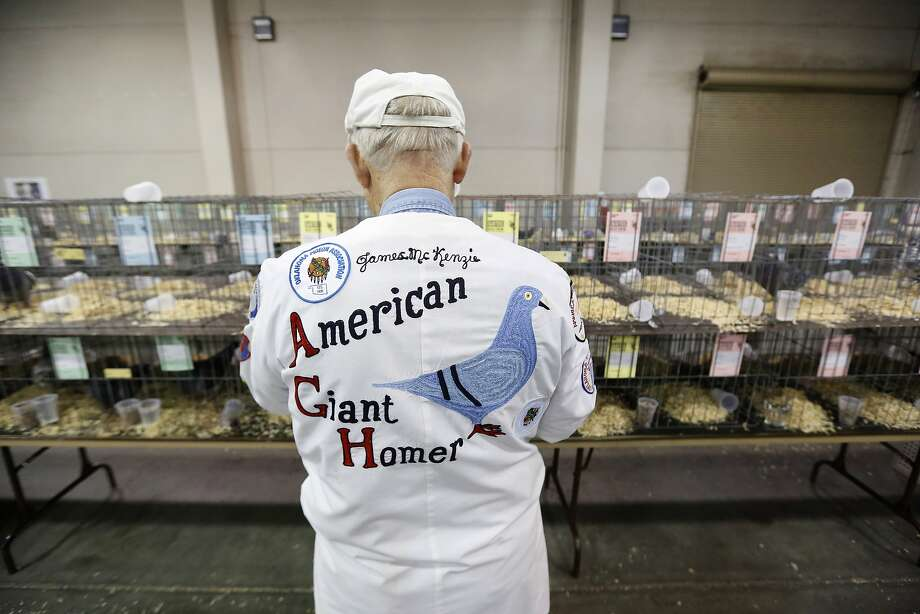 James McKenzie, of Norman, Okla., looks at his giant homer pigeon during the Grand National Pigeon Show at the Cox Convention Center in Oklahoma City, Thursday Jan. 16, 2014.  (AP Photo/The Oklahoman, Steve Gooch) LOCAL STATIONS OUT (KFOR, KOCO, KWTV, KOKH, KAUT OUT); LOCAL WEBSITES OUT; LOCAL PRINT OUT (EDMOND SUN OUT, OKLAHOMA GAZETTE OUT) TABLOIDS OUT Photo: Steve Gooch, Associated Press
