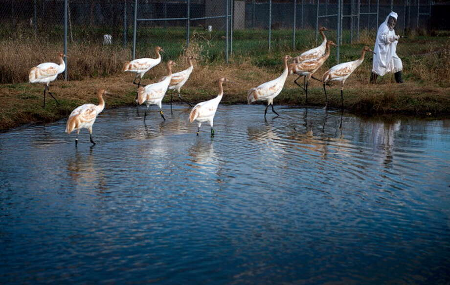 Whooping cranes are one of the most easily identified birds along the Texas coast. Unfortunately, the recognition comes from the fact that the birds are one of the most endangered species in the state. Click through to see more endangered and threatened birds.  Photo: BRENDAN SMIALOWSKI, Getty Images / 2013 AFP