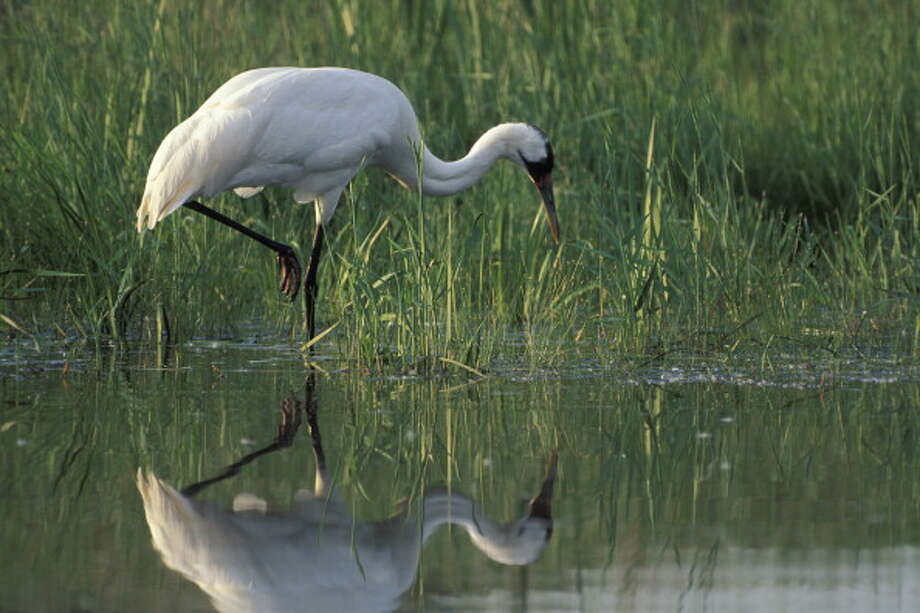 Whooping crane hunting along edge of a pond, Grus americana, International Crane Foundation, Baraboo, Wisconsin, USA, Photographed under controlled conditions Photo: Wild Horizon, Getty Images / Universal Images Group Editorial