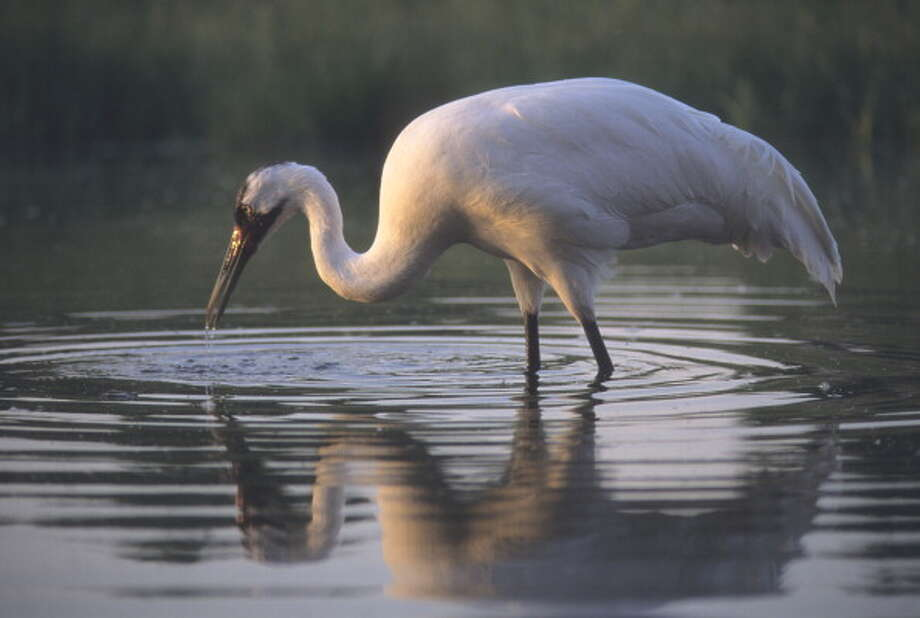 Female whooping crane named Oobleck hunting in a pond at the International Crane Foundation, Grus americana, International Crane Foundation, Baraboo, Wisconsin, USA, Photo: Wild Horizon, Getty Images / Universal Images Group Editorial
