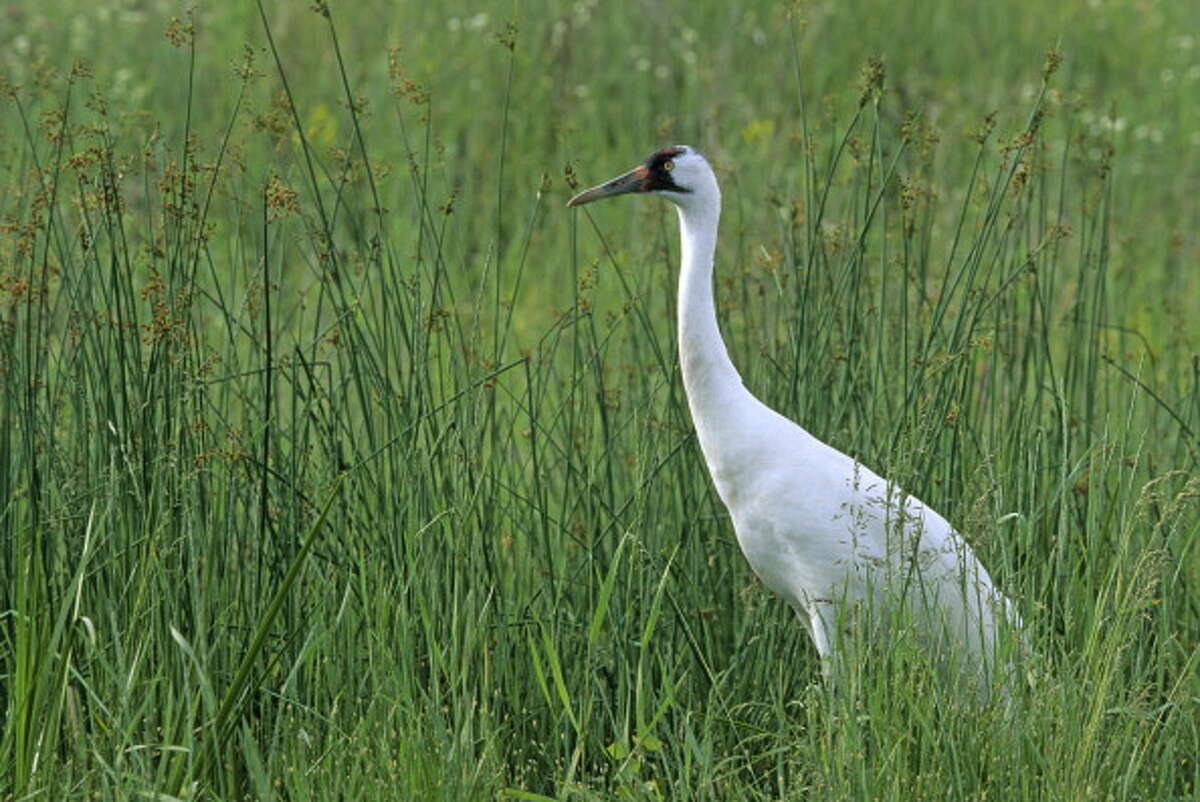 Female whooping crane in a marshy pond margin, Grus americana, International Crane Foundation, Baraboo, Wisconsin, USA, Photographed under controlled conditions