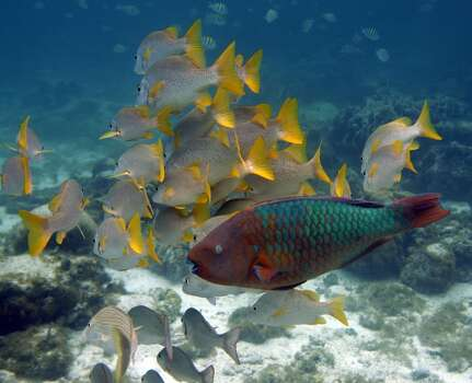 A Rainbow Parrot fish, front, passes by a group of yellow tail snapper. It is endangered in the Americas, including the Oceanic region. Loss of habitat, over-fishing and coastal development has led it its decline over the years. Photo: AP
