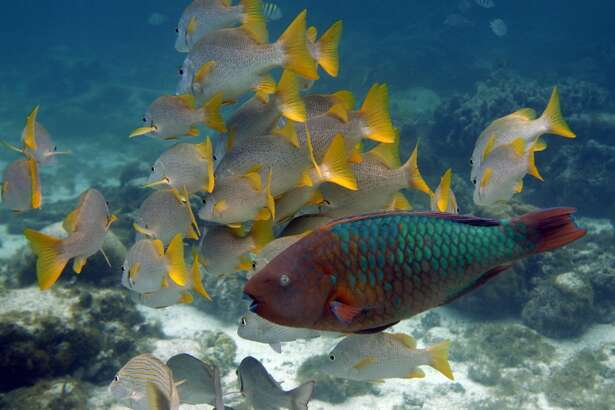 This photo taken March 2009 shows a Rainbow Parrot fish, front, passing by a group of yellow tail snapper off Caye Caulker Island near the second largest barrier reef that runs along the coast of Belize.(AP Photo/Pat Wellenbach)