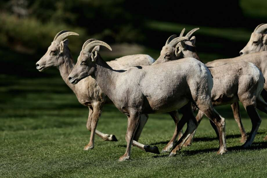 FILE — Bighorn sheep run on the Arnold Palmer Private Course at PGA West during the first round of the Humana Challenge in partnership with the Clinton Foundation  on January 16, 2014 in La Quinta, California. A herd of the sheep is dying off from a mysterious illness.  Photo: Getty Images