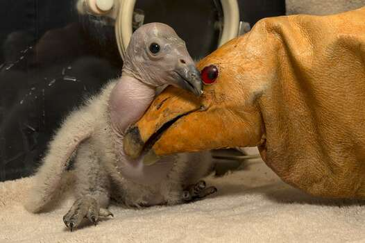 Wesa, a two-week-old California condor chick, hatched on Feb. 24, 2013, making it the first of the season at the San Diego Zoo Safari Park. Wesa is a part of the San Diego Zoo Safari Park's highly successful California condor breeding program.  Since the California Condor Recovery Program began in the 1980s, when there were only 22 condors left in the world, the Safari Park has hatched 173 chicks and released more than 80 birds into the wild. Today, there are over 400 condors, half of which are flying free at release sights in Baja California, Mexico, California and Arizona. Photo: AFP/Getty Images
