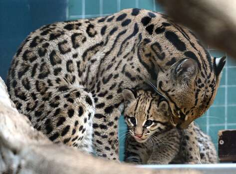 A baby ocelot sits next to its mother. Prior to the loss of much of its original habitat, the species was hunted by the thousands for its fur. It is listed as endangered in Arizona and Texas. Photo: AFP/Getty Images