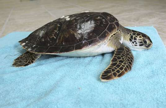 Stunned green sea turtle that was rescued Nov. 28, 2013. The species is listed as endangered in Florida and is legally protected by the U.S. The primary threat comes from fisherman wishing to harvest their meat and eggs. Photo: Courtesy Of Padre Island Nationa