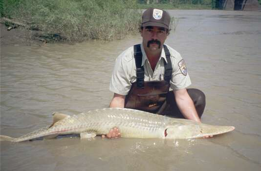 U.S. Fish and Wildlife biologist Steve Krentz holds a pallid sturgeon before its release into the Missouri River, near Williston N.D., July, 1997. The ancient fish, which can weigh up to 80 pounds and live for up to 60 years, is on the endangered species list. Structures like dams and reservoirs have limited the movement of these creatures and destroyed spawning areas. Photo: AP
