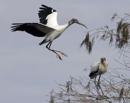 An endangered Wood Stork prepares to land in a tree as another one looks on in Big Cypress National Preserve, Fla. As the wetlands diminish, so too does the population. Photo: AP
