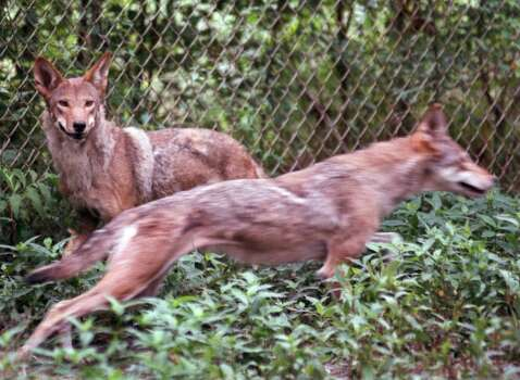 A pair of red wolves watch their pen being cleaned  at Alligator River National Wildlife Refuge in Dare County, N.C., on July 7, 2000. Photo: AP