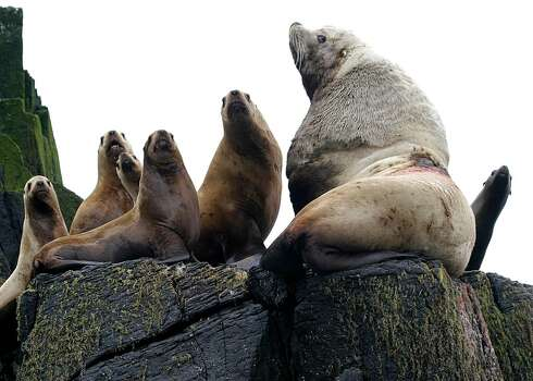 A bull Steller sea lion, right, and juveniles watch from a haulout at Sea Lion Rocks, one of the Shumagin Islands south of the Alaska Peninsula, near Sand Point, Alaska. Competition with local fisherman has often turned violent, resulting in a significant loss in this species' numbers. Photo: AP
