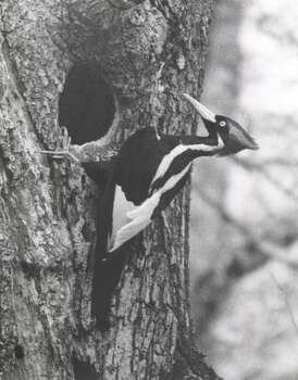 The ivory-billed woodpecker, once thought to have become extinct, was reportedly sighted in eastern Arkansas. It's believed much of its habitat disappeared because of logging and other developments. Photo: KRT