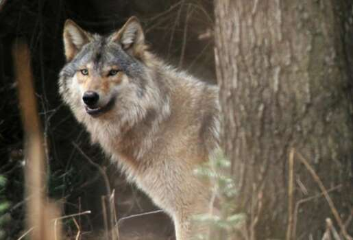 A gray wolf is seen in a wooded area near Wisconsin Dells, Wis. Illinois' own once-thriving wolf population were hunted to extinction by the 1860s. But since the first confirmed sighting in the state in 150 years, in 2002, wolf sightings have gone from rare to regular — with at least five in the last three years. Several Illinois hunters have dealt with legal issues after mistaking wolves for coyotes that can be legally hunted in the state. Photo: Associated Press