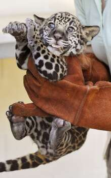 A baby jaguar gets a check-up at the Jacksonville Zoo and Gardens in Jacksonville, Fla. Previously, the animals were hunted for their fur but now habitat loss threatens the remaining population in the US. Photo: Associated Press