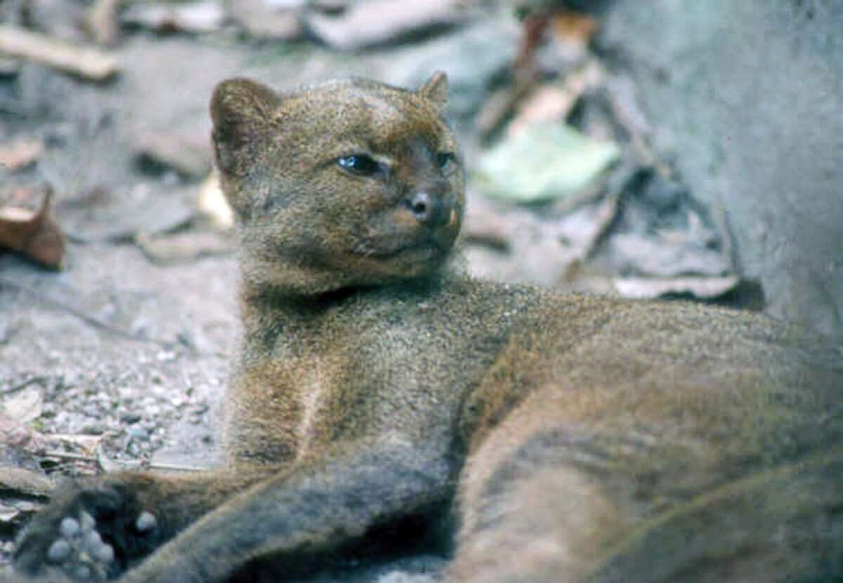 Jaguarundi This cool cat, just a little bigger than a typical house cat, is now rarely seen in Texas and then only in the Rio Grande Valley. It prefers very thick brush near a water source, and most of its habitat has been cleared for human use.