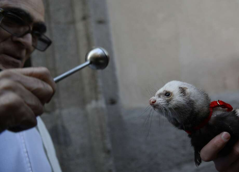 'Pope?' goes the weasel:A priest blesses a ferret at San Anton Church in Madrid on Saint Anthony's Day. St. Anthony is the patron saint of animals. Photo: Pierre-Philippe Marcou, AFP/Getty Images