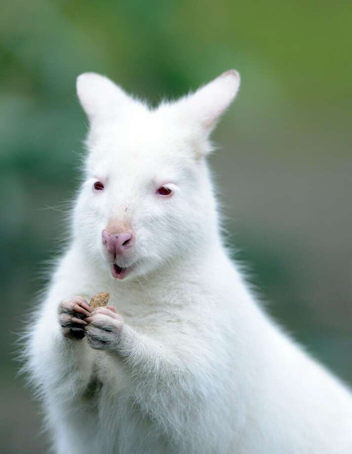 I blink pink:An albino Bennett wallaby nibbles on a treat at the zoo in Duisburg, Germany. Photo: Caroline Seidel, AFP/Getty Images