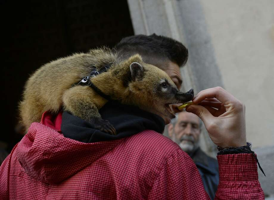 Coati on a hoodie:One of the more unusual animals waiting to be blessed at San Anton Church in Madrid gets a treat. Photo: Pierre-Philippe Marcou, AFP/Getty Images
