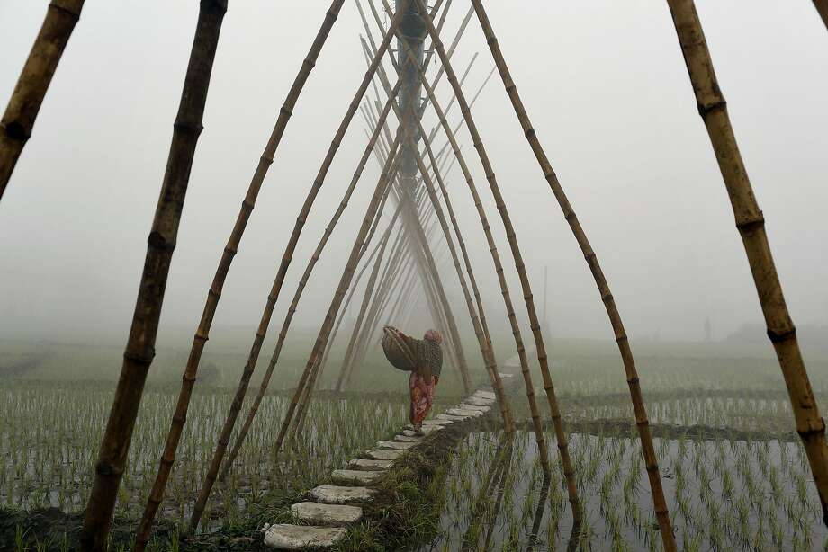 On foot in the fog: An elderly woman carries a basket over submerged paddies along the banks of the River Turag in Ashulia , Bangladesh. Photo: A.M. Ahad, Associated Press