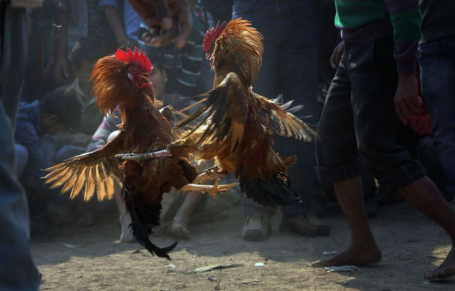 Roosters attack each other during a rooster fight as part of Jonbeel festival near Jagiroad, about 75 kilometers (47 miles) east of Gauhati, India, Friday, Jan. 17, 2014. Tribal communities like Tiwa, Karbi, Khasi, and Jaintia from nearby hills participate in large numbers in the festival that signifies harmony and brotherhood amongst various tribes and communities. (AP Photo/Anupam Nath) Photo: Anupam Nath, Associated Press
