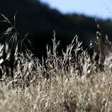 Dried, water starved grasses sit on a hillside at Briones Regional Park in Lafayette, CA, Wednesday, January 15, 2014.