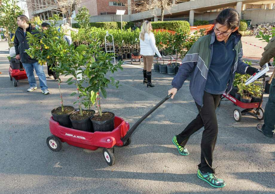 Sandra Ruiz hauls tropical passion and start fruit and sugar apple plants. Thousands started lining up for the Urban Harvest 14th annual Fruit Tree Sale. This is the largest single-day fruit tree sale in the country, offering more than 100 varieties of fruit trees. The trees are grown locally, acclimated to the Gulf Coast region, and grafted to root stock adapted of our soil. One year they sold 6,000 trees in four hours. Photo: Craig Hartley, For The Chronicle / Copyright: Craig H. Hartley