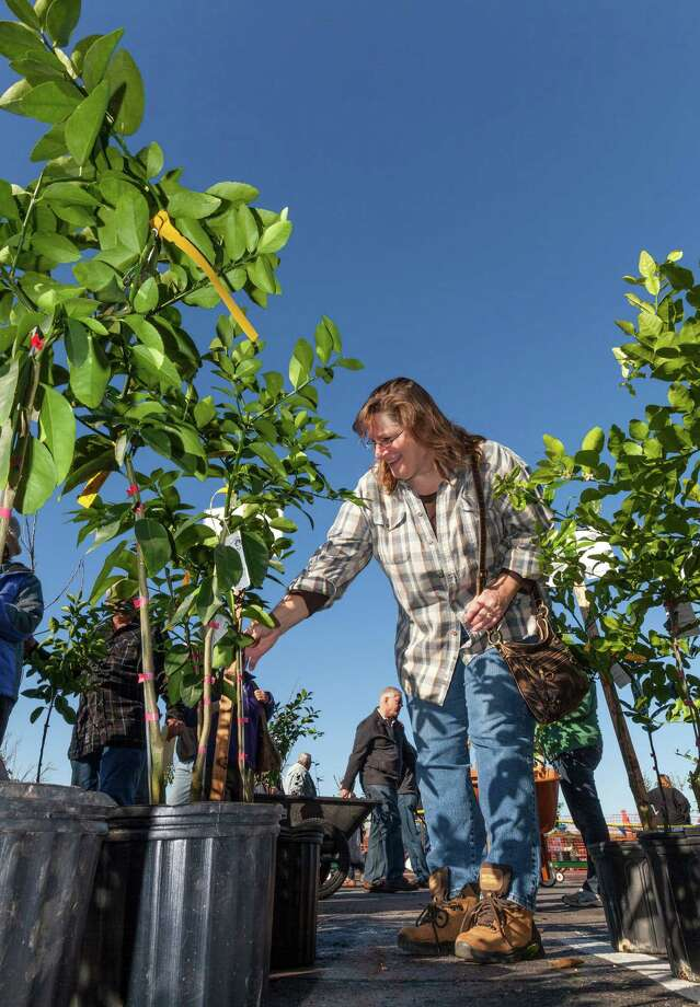 Sherry Young of Spring Branch selects a lime tree. Photo: Craig Hartley, For The Chronicle / Copyright: Craig H. Hartley