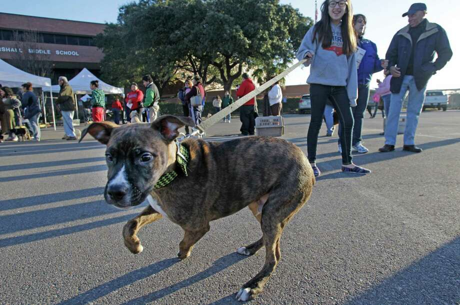 Kaitlyn Conner, 11, waits with her dog, Fat Boy, to get a free rabies vaccination during the Healthy Pets Healthy Streets Initiative sponsored by BARC and other partners at John Marshall Middle School. Photo: Melissa Phillip, Houston Chronicle / © 2014  Houston Chronicle
