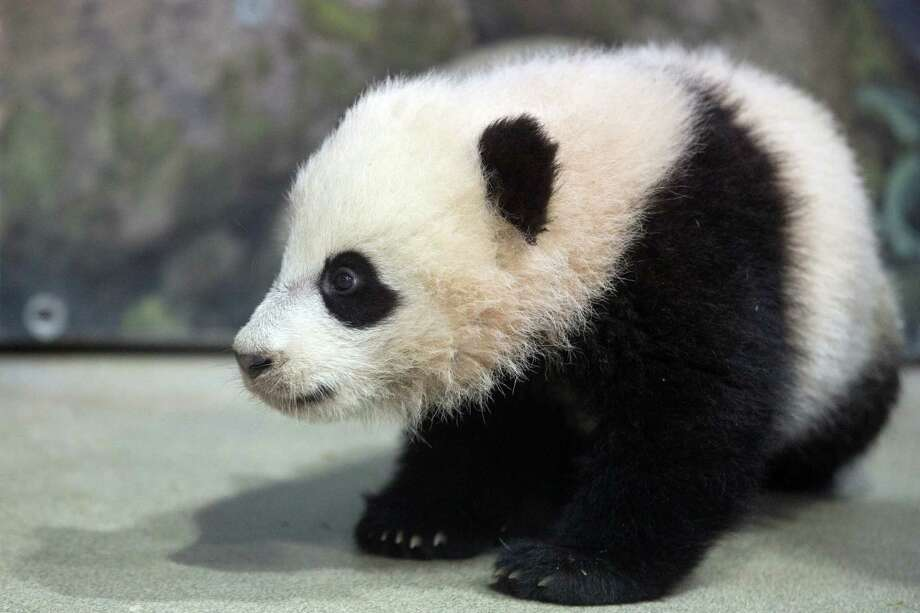 File-This Jan. 7, 2014, file photo shows Bao Bao, the four and a half month old giant panda cub sitting in her indoor habitat at the Smithsonian's National Zoo in Washington.  The National Zoo in Washington has extended its hours this weekend for the giant panda house as Bao Bao (bow bow) makes her public debut. Saturday was the first chance for the public to see the 5-month-old cub. The zoo says the panda house will be open from 8 a.m. to 4:30 p.m. Saturday, Sunday and Monday. Visitors are allowed into the building in small groups to avoid overcrowding. Photo: Charles Dharapak, AP  / A2014