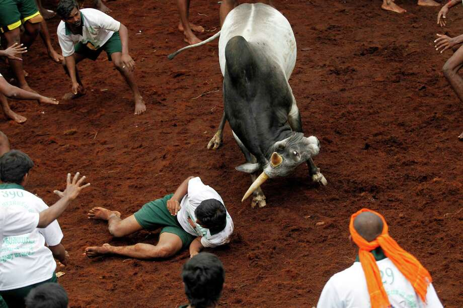 A bull tries to charge over a participant during a bull-taming sport, called Jallikattu, in Alanganallor, about 424 kilometers (264 miles) south of Chennai, India, Thursday, Jan. 16, 2014. Jallikattu is an ancient heroic sporting event of the Tamils played during the harvest festival of Pongal. Photo: Arun Sankar K, AP  / AP