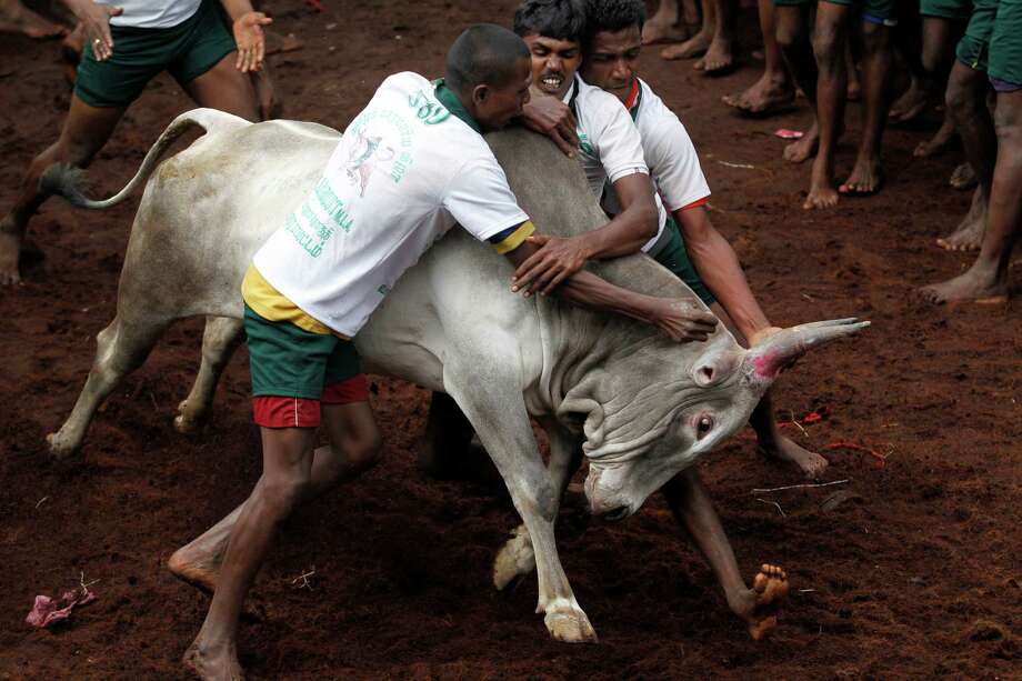 Participants try to hold on to a bull during a bull-taming sport, called Jallikattu, in Alanganallor, about 424 kilometers (264 miles) south of Chennai, India, Thursday, Jan. 16, 2014. Jallikattu is an ancient heroic sporting event of the Tamils played during the harvest festival of Pongal. Photo: Arun Sankar K, AP  / AP