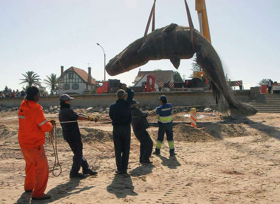 In this photo released by the Intendencia de Montevideo, the carcass of a sperm whale that washed ashore on Carrasco beach is lifted with a crane, in Montevideo, Uruguay, Monday, Jan. 13, 2014. Dozens of Navy officials and rescuers used excavators to remove the marine mammal weighing up to 25 tons, to be buried in a nearby landfill. The 16-meter (52.5-foot) whale was found Saturday. Photo: Monica Riet, AP  / AP2014