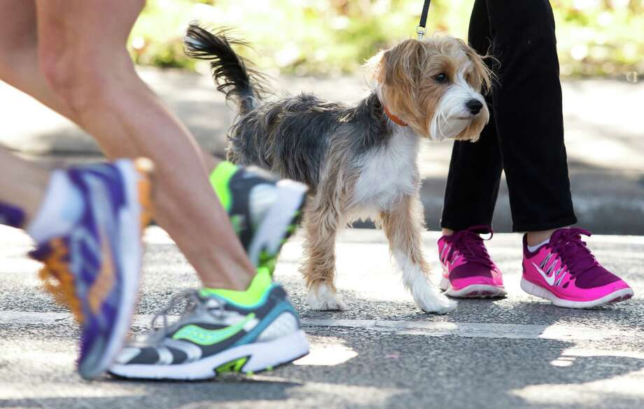 Patches, a one year old yorkie poo, watches as runners go by during the Chevron Houston Marathon . Photo: J. Patric Schneider, For The Chronicle / © 2014 Houston Chronicle